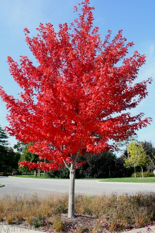 Autumn Blaze Maple in full, bright red bloom.