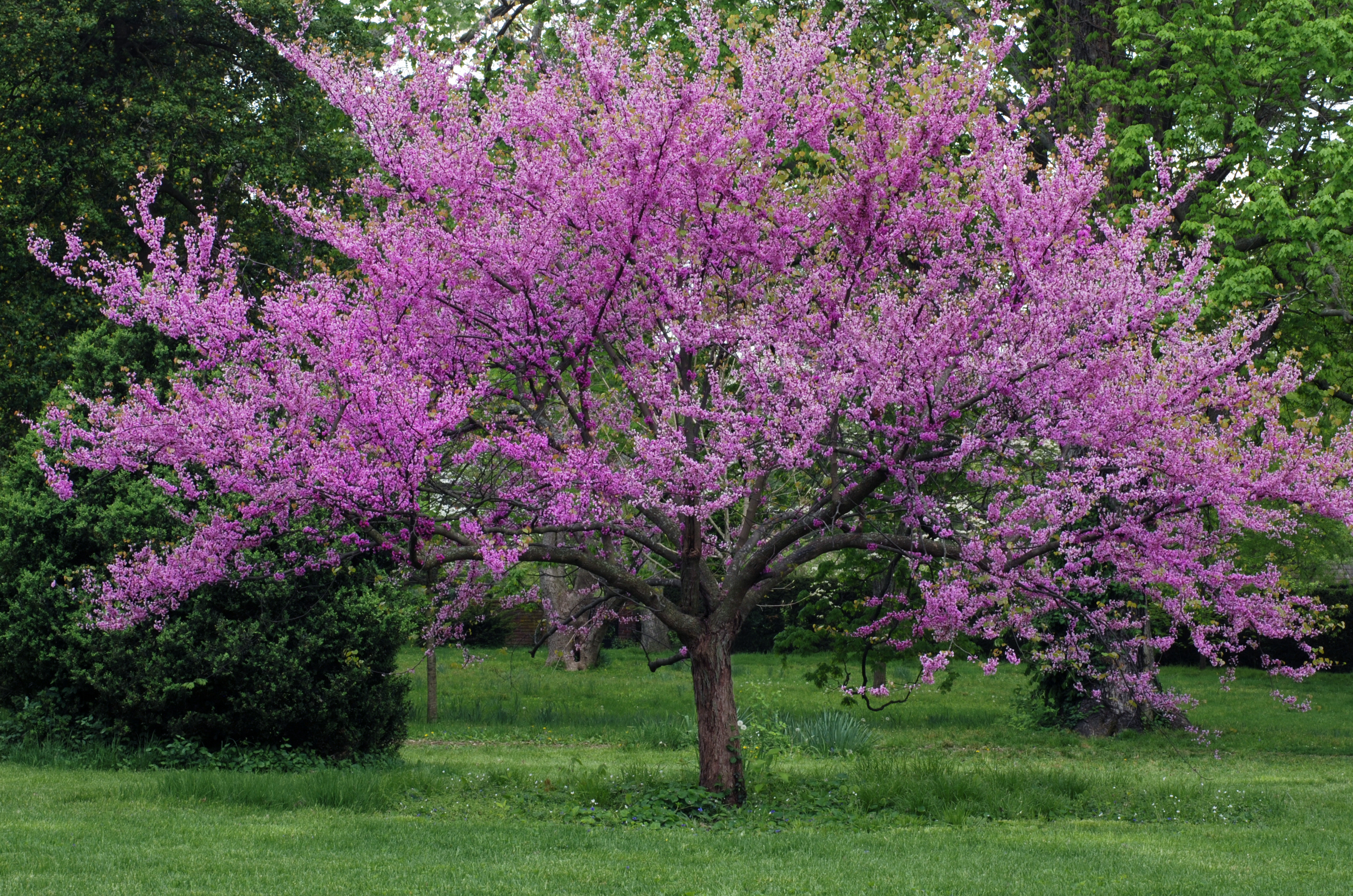 Purple buds blooming on landscaped tree on lawn.