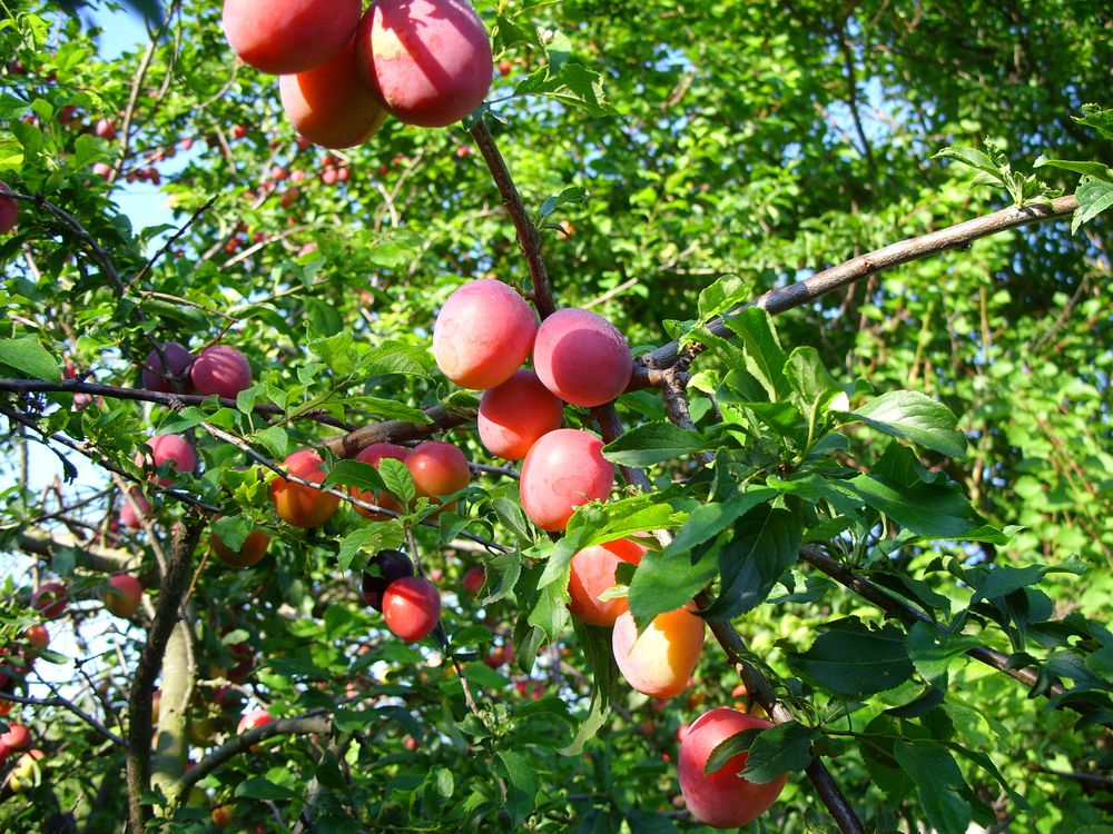 Peach tree canopy with fruit.