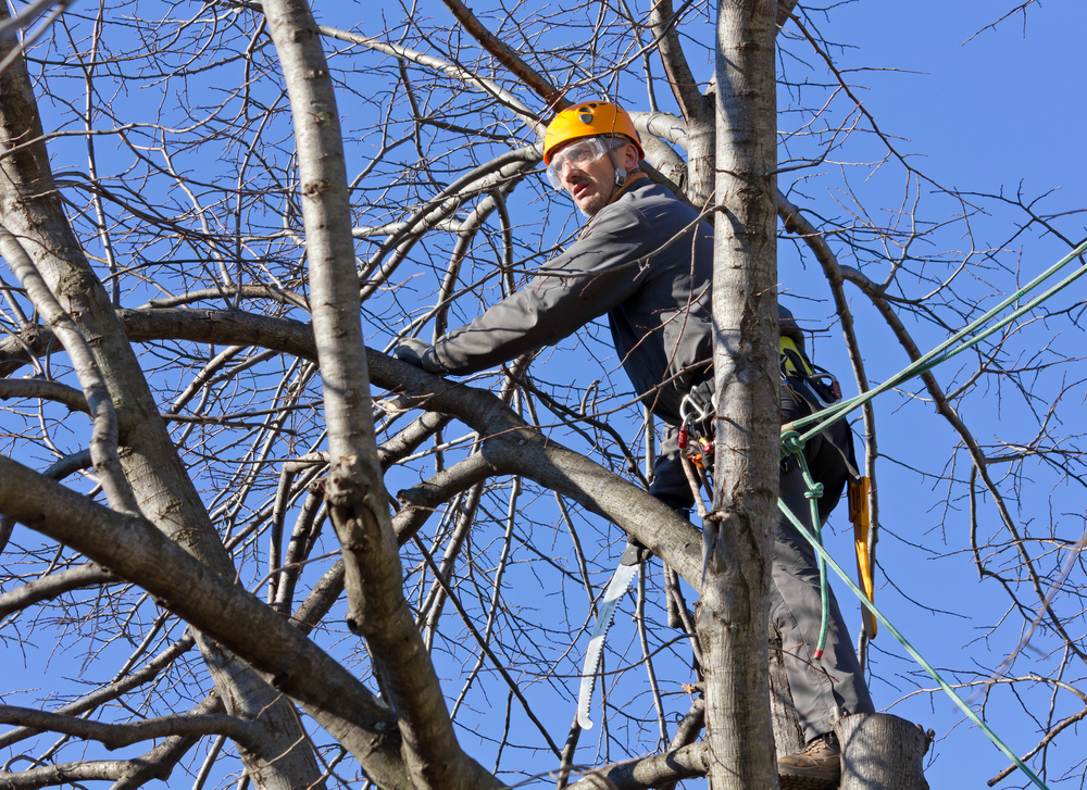 Arborist cutting and pruning branches in tree canopy.