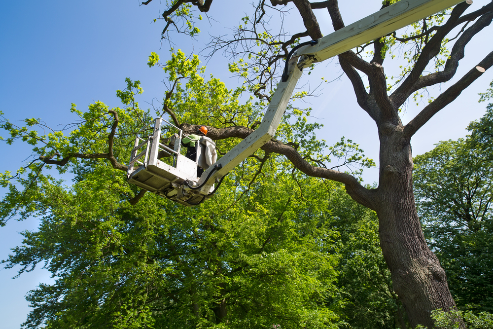 Man in bucket truck trims tree branches of tall tree.