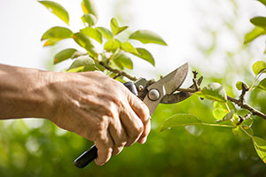 pruning a shrub with pliers