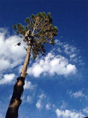 Tall tree pruned and trimmed by Donovan Arborists.