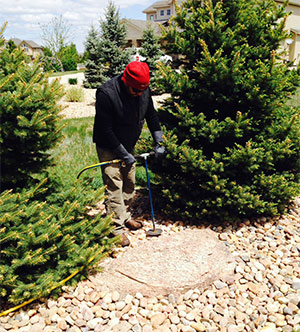Donovan Arborists performs deep root fertilization for pine tree