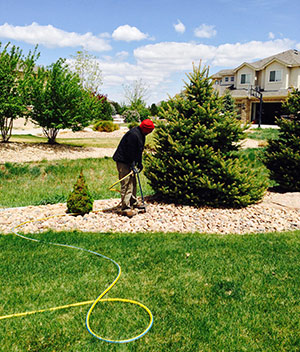 Donovan Arborists performs deep root watering for pine tree
