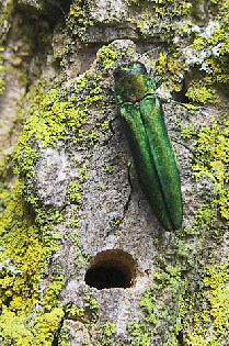 Close up of Emerald Ash Borer on tree trunk next to hole it created