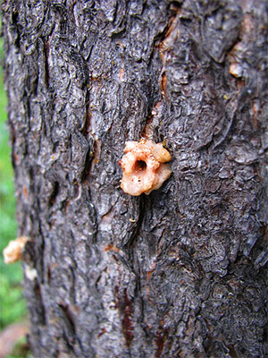 Mountain Pine Beetle infestation on tree trunk