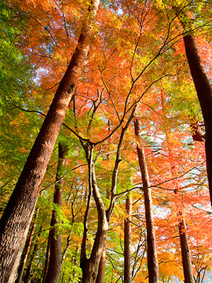 Forest tree canopy with fall foliage colors