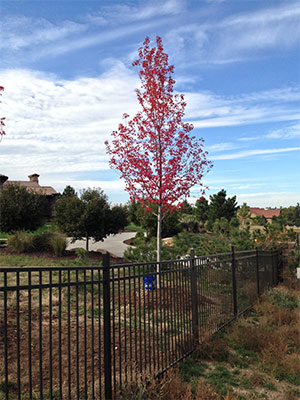 Freshly planted red leaf tree sapling on fenced in HOA property