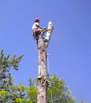 Donovan Arborists perform tree removal in Denver, CO.