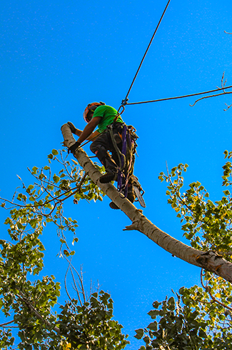 Donovan Arborists trimming large tree in woods.